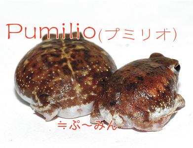 Pumilio(プミリオ)